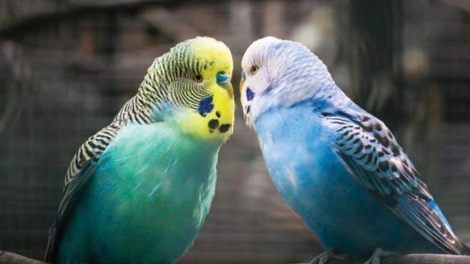 muhabbet kuşu, muhabbet kuşlarında üreme, muhabbet kuşları ne yer