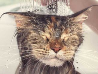 kedi banyosu, kedi yıkama, kediler ne sıklıkla yıkanır