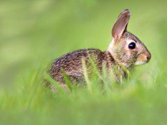 rüyada tavşan görmenin anlamı, rüyada tavşan görmek ne demek, rüyada tavşan gömenin anlamı nedir